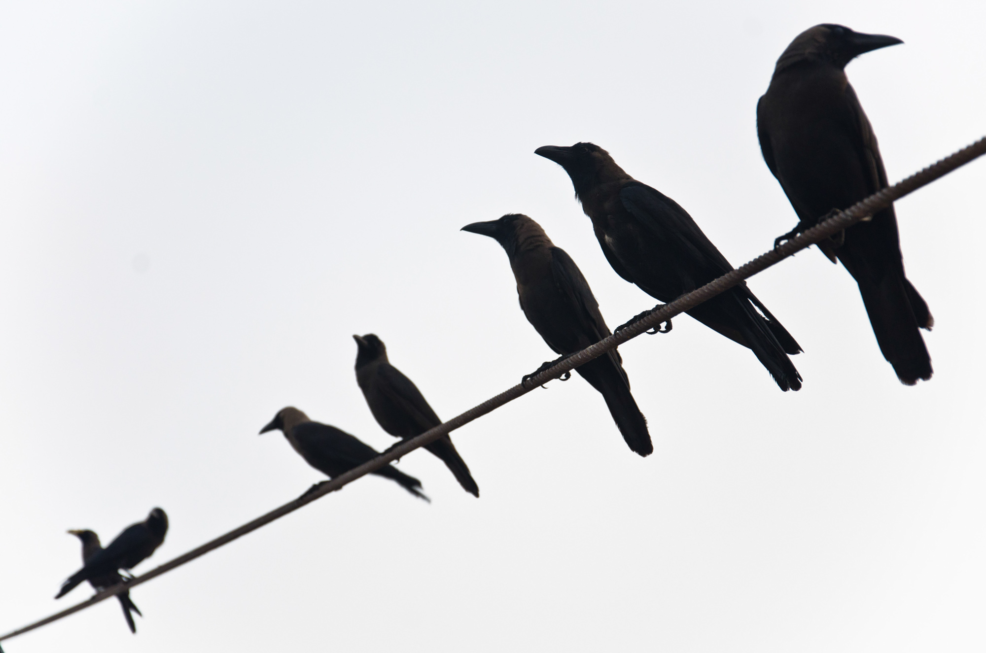 Crows_on_a_Line