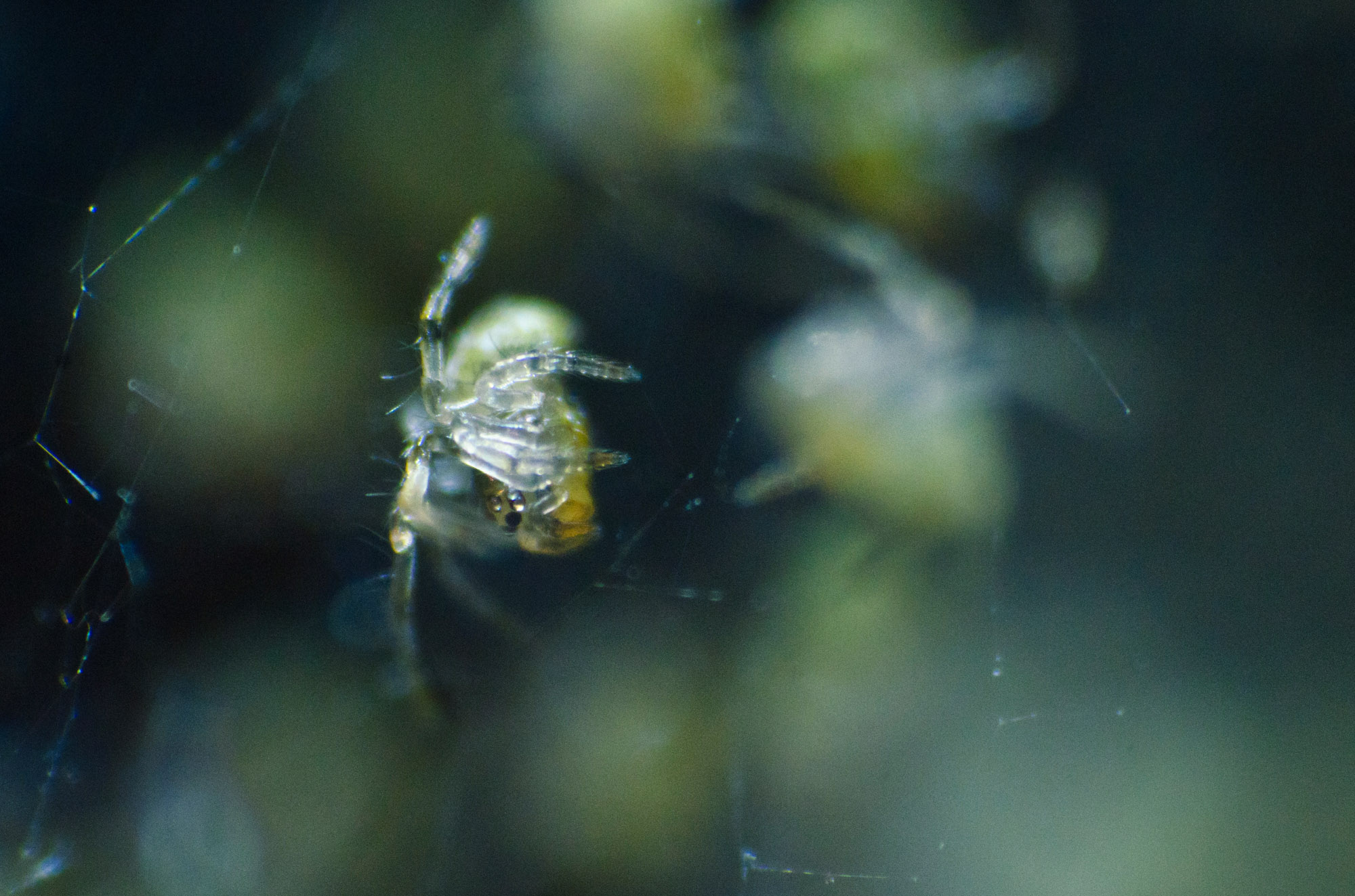 Macro_Spiderlings2