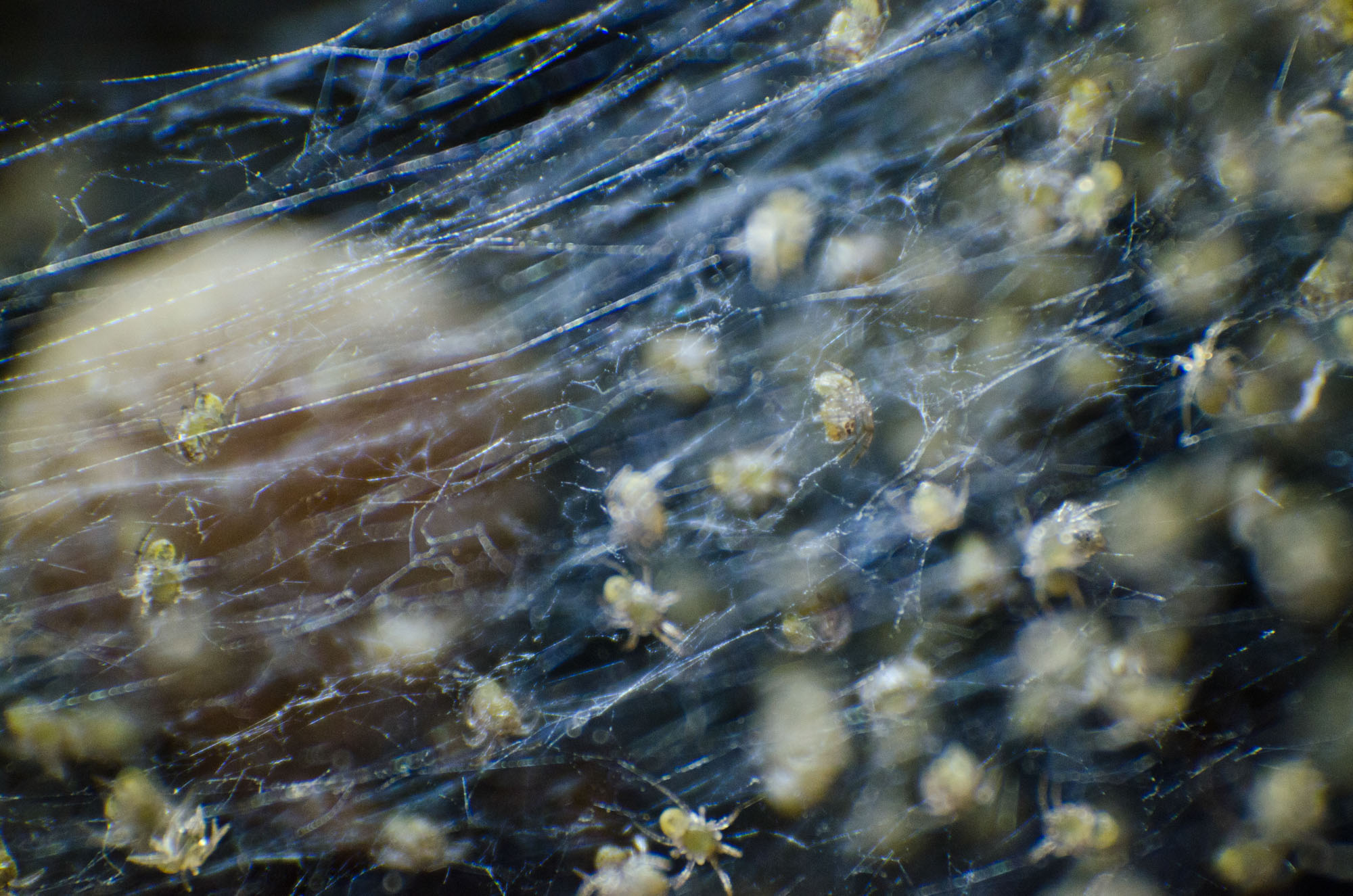 Macro_Spiderlings4